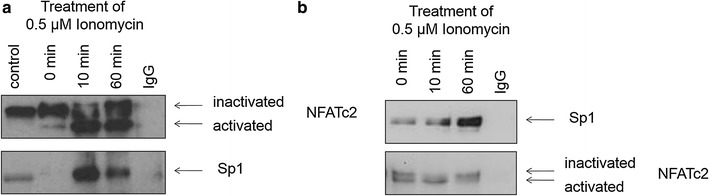 Co-immunoprecipitation of NFATc2 and Sp1 complexes of pancreatic tumor cells. After 3 h incubation with serum-free medium, the cells were stimulated with 0.5 µM of Ionomycin, harvested, and lysed at defined time points (0, 10, and 60 min). NFATc2 or Sp1 proteins were immunoprecipitated by means of an antibody coupled to an agarose bead. Sp1 binding to NFATc2 ( a ) or NFATc2 binding to Sp1 ( b ) were analyzed by means of Western blotting