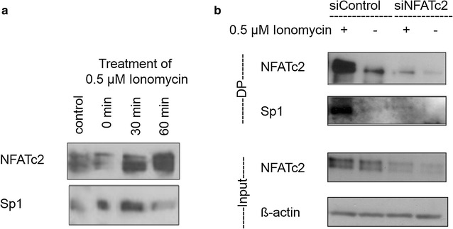 Physical interaction at the NFAT target sequence. DNA oligonucleotide, which includes the NFAT consensus binding sequence GGAAA, was either incubated with the cell lysate of cells stimulated with Ionomycin or untreated cells ( a ) or transiently transfected with 'Silencer Negative Control'—siRNA or <t>NFATc2-specific</t> siRNA oligonucleotide and also stimulated or not stimulated ( b ). Proteins binding to the biotin-marked oligonucleotide sequence were subsequently precipitated with streptavidin. By means of the respective antibodies, NFATc2 and Sp1 were determined by Western blot analysis