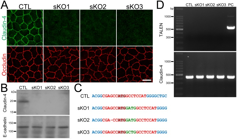 Establishment of claudin-4 knockout clones in MDCK II cells. (A) Immunofluorescence analysis of claudin-4 and occludin in wild-type cells (CTL) and claudin-4 knockout clones (sKO1–3) in MDCK II cells. Claudin-4 staining at cell-cell contacts was completely lost in claudin-4 knockout clones. Scale bar = 10 μm. (B) Immunoblots of claudin-4 and E-cadherin in wild-type cells and claudin-2 knockout clones. A claudin-4 band of ~20 kDa was absent in claudin-4 knockout clones. (C) DNA sequences of the TALEN targeting site in wild-type cells and claudin-4 knockout clones. Dash indicates loss of a nucleotide and green letters indicate additional nucleotides. Frame shifts were confirmed in all clones. (D) Genomic PCR analysis of wild-type cells and claudin-4 knockout clones using primers for TALEN and claudin-4 DNAs. A clone stably expressing TALEN was used as a positive control (PC). None of the PCR products for TALENs was detected in claudin-4 knockout clones.
