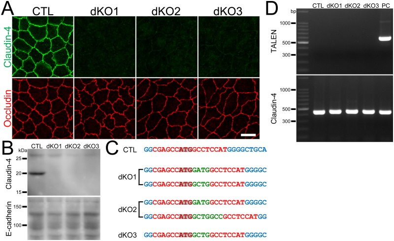 Establishment of claudin-2 and claudin-4 double knockout clones in MDCK II cells. (A) Immunofluorescence analysis of claudin-4 and occludin in claudin-2 knockout clone (CTL) and claudin-2 and claudin-4 double knockout clones (dKO1–3) in MDCK II cells. Claudin-4 staining at cell-cell contacts was completely lost in double knockout clones. Scale bar = 10 μm. (B) Immunoblots of claudin-4 and E-cadherin in claudin-2 knockout clone and double knockout clones. (C) DNA sequences of the TALEN targeting site in wild-type cells and double knockout clones. One type of mutation was found in the alleles of the dKO3 clone and two types in the alleles of the dKO1 and dKO2 clones. Green letters indicate additional nucleotides. Frame shifts were confirmed in all alleles. (D) Genomic PCR analysis of wild-type cells and double knockout clones using primers for TALEN and claudin-4 DNAs. None of the PCR products for TALENs was detected in double knockout clones.
