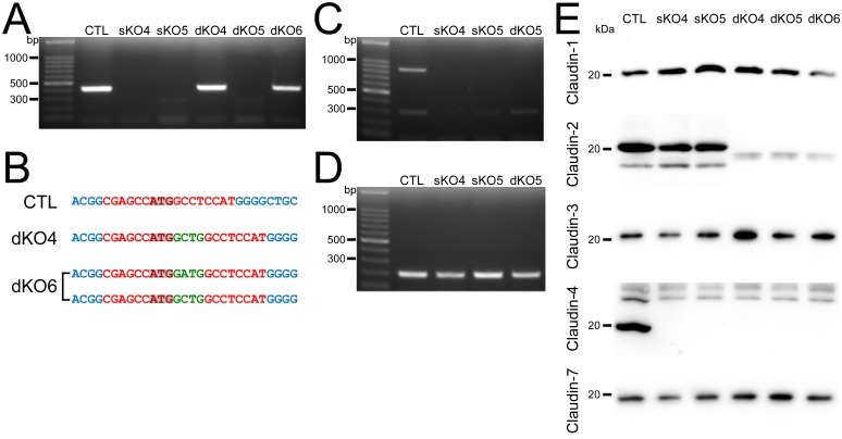 Establishment of claudin-2 and claudin-4 double knockout clones in MDCK II cells. (A) Genomic PCR analysis of wild-type cells, claudin-4 knockout clones (sKO4, sKO5) and claudin-2 and claudin-4 double knockout clones (dKO4–6) using primers for the TALEN targeting site in claudin-4 genes. (B) DNA sequences of the TALEN targeting site in wild-type cells and dKO4 and dKO6 clones. Green letters indicate additional nucleotides. (C) Genomic PCR analysis of wild-type cells and sKO4, sKO5 and dKO5 clones using primers for the region of sequences containing 400 bases before the TALEN targeting site. (D) Genomic PCR analysis of wild-type cells and sKO4, sKO5 and dKO5 clones using primers for the region within the claudin-4 gene. (E) Immunoblots of claudin-1, -2, -3, -4 and -7 in claudin-4 knockout clones.