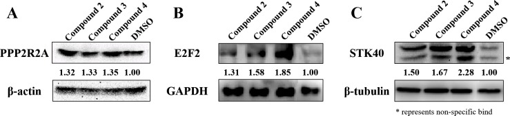Protein expression of miR-31 targets following compound treatment. A549 cells were treated with compounds 2, 3, and 4 and lysed with RIPA buffer. Total protein concentration was calculated using a BCA assay kit, and 20 μg of total protein was used for western blot analyses of PPP2R2A (A), E2F2 (B), and STK40 (C). The intensity of each blot was normalized against that of β-tubulin. Bands were detected using the ChemiDoc™ XRS+ System. (* represents non-specific band).
