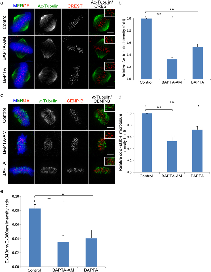 Ca 2+ -depletion reduces the stability of spindle fibres. ( a ) HeLa WT cells arrested at metaphase using MG132 were treated with 25 µM BAPTA-AM or 10 mM BAPTA and 5 µM ionomycin to reduce intracellular Ca 2+ then stained with anti-Ac-tubulin antibody. ( b ) A graph presenting the relative Ac-tubulin intensity at kinetochore of each treatment. ( c ) Fluorescence images of metaphase cells in control, BAPTA-AM and BAPTA (with ionomycin) treatments after exposure to low temperature. ( d ) A graph presenting the relative cold-stable microtubule intensity at kinetochore of each treatment. ( e ) A bar graph showing the intensity ratio of Fura-2 excited at 340 and 380 nm measured in mitotic cells, which represent intracellular calcium levels. Error bars indicate standard deviations derived from three independent experiments. Bar, 5 µm.
