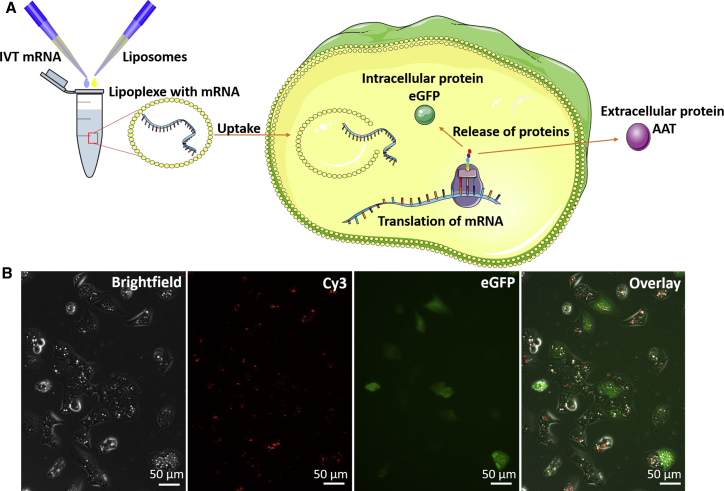 Transfection of Cells with Liposomes for Induced Expression of Different Proteins (A) The schematic overview shows the process of mRNA incorporation in liposomes and subsequent transfection and mRNA translation. During transfection, the lipoplexes are endocytosed by the cells of interest. Inside the cell, the lipid layer is degraded and mRNA is released. In the cytosol, the mRNA is translated by ribosomes and the protein is subsequently released intra- or extracellularly. (B) The presence of <t>Cy3-labeled</t> EGFP-encoding mRNA after liposome uptake and expression of EGFP protein in cells 24 hr posttransfection.