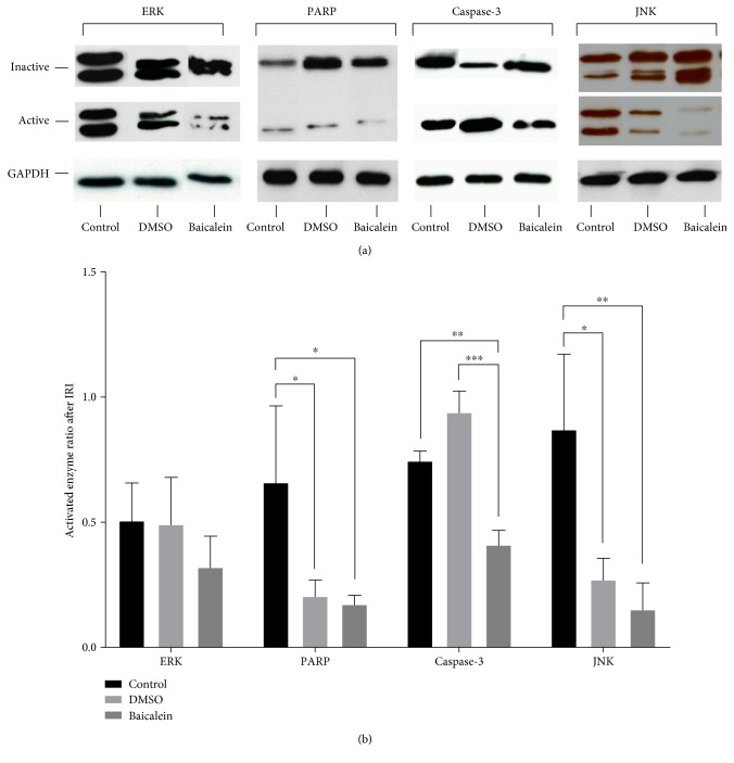 Western blot assays of liver tissue (right anterior segment) exposed to ischemia-reperfusion injury for detection of activity levels of proapoptotic proteins JNK (stress-activated protein kinase/Jun-amino-terminal kinase), ERK (mitogen-activated protein kinase p44/42), caspase-3, and PARP (poly-ADP-ribose-polymerase). (a) Representative images of Western blots demonstrating the differences in enzyme activity levels for each experimental group. Inactive proteins are shown on top for ERK (total ERK, 42 + 44 kDa), PARP (uncleaved, 116 kDa), caspase-3 (loading control GAPDH, 37 kDa), and JNK (total JNK, 46 + 54 kDa). Activated protein forms are shown in the middle for ERK (phosphorylated ERK, 42 + 44 kDa), PARP (cleaved, 89 kDa), caspase-3 (cleaved, 20 kDa), and JNK (phosphorylated JNK, 46 + 54 kDa). Loading controls are shown below in each group for glyceraldehyde 3-phosphate dehydrogenase (GAPDH, 37 kDa). (b) Quantitative photometric analyses of Western blots prove the mostly significant downregulation of proapoptotic enzyme activity levels after Baicalein pretreatment. Activated enzyme ratio is calculated as a quotient of active/inactive protein form. Changes in protein level activation after sole vehicle administration (DMSO) could also be observed. Data are presented as the mean ± SEM. ∗ p