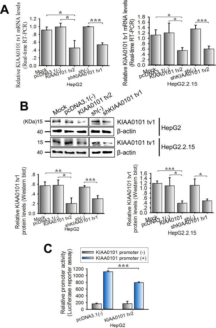KIAA0101 tv2 overexpression suppresses the expression level of KIAA0101 tv1 in HCC cells HepG2 and HepG2.2.15 cells were transfected with KIAA0101 tv2 plasmid. shKIAA0101 tv1 was used as the positive control. pcDNA3.1(-) or scrambled shRNA (sh(-)) was used as the negative control. Mock transfection was used as the blank control. The mRNA and protein levels of KIAA0101 tv1 were determined in the indicated cells using (A) real-time RT-PCR and (B) western blot respectively. (C) Luciferase activity assay. KIAA0101 tv2 expression plasmids were transiently co-transfected with either pGL3-KIAA0101 promoter or pGL3-basic into HepG2 cells. Luciferase activity was measured following 48 h of incubation. All graphs show the mean±SD of at least three independent experiments. * P