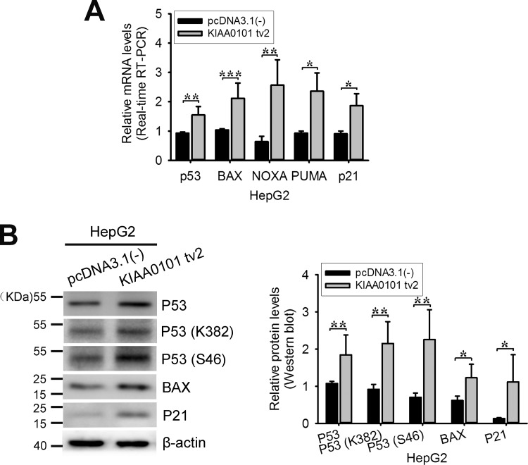 Exogenous expression of KIAA0101 tv2 increases p53 activity (A) HepG2 cells were transiently transfected with the empty plasmid or with the expression plasmid for KIAA0101 tv2. 48 hours after transfection, total mRNA was prepared and subjected to real-time RT-PCR using specific primers. β-actin was used as the control. The experiments were performed at least three times. (B) Western blot. The protein levels of P53, P53 (K382), P53 (S46), and two downstream target genes were assessed in pcDNA3.1(-) or KIAA0101 tv2 expression plasmid-transfected HepG2 cells. All bars show the intensity of the bands quantitated by densitometry based on three independent experiments. * P