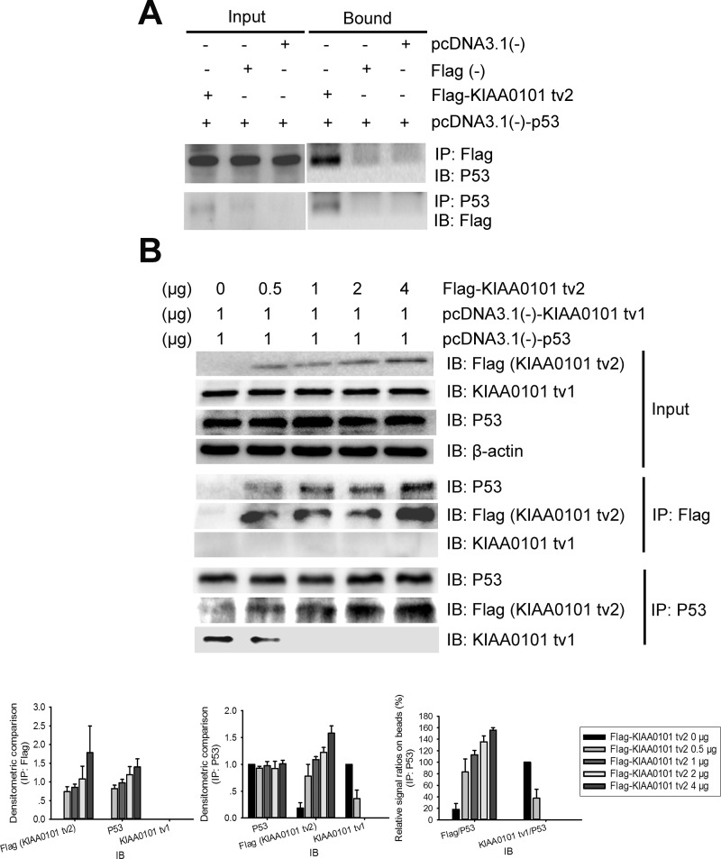 KIAA0101 tv2 competes with KIAA0101 tv1 for binding to P53 in mammalian cells (A) 48 hours after transfection, whole cell lysate was immunoprecipitated (IP) using anti-FLAG antibody and subsequently immunoblotted (IB) with anti-P53 antibody. The cell lysate was also immunoprecipitated using anti-P53 antibody and IB with the anti-FLAG antibody. IP lysate (5%) was used as input. (B) Increasing concentrations of KIAA0101 tv2 prevented the co-IP of KIAA0101 tv1 with P53. HEK 293T cells were co-transfected with pcDNA3.1(-)-KIAA0101 tv1 (1 μg), pcDNA3.1(-)-P53 (1 μg), and increasing amounts (0_4 μg) of Flag-KIAA0101 tv2 plasmids. Cell lysate was immunoprecipitated using the anti-FLAG antibody and subsequently IB with anti-P53 and anti-KIAA0101 tv1 antibodies. Cell lysate was also immunoprecipitated using anti-P53 antibody and then IB with antibodies against P53, Flag, and KIAA0101 tv1. Densitometric analysis presented as mean ± SEM. IP lysate (5%) was used as input.