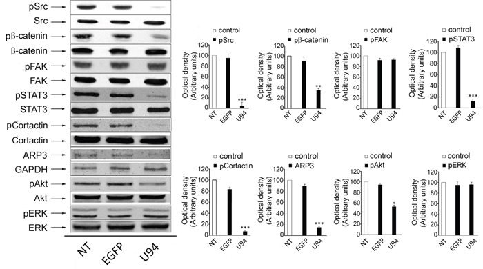 Effect of U94 on cell signaling pathways Western blot analysis of MDA-MB 231 lysates was performed using mAbs to Src pTyr418, total Src, <t>β-catenin</t> pTyr654, total β-catenin, FAK pTyr397, total FAK, STAT3 pTyr705, total STAT3, Cortactin pTyr421, total Cortactin, ARP2/3, GAPDH, Akt pSer473, total Akt, ERK pThr202 and total ERK as specific reagents. Quantification was carried out by densitometric analysis and plotting of the Src pTyr418/Src, β-catenin pTyr654/β-catenin, FAK pTyr397/FAK, STAT3 pTyr705/STAT3, Cortactin pTyr421/Cortactin, ARP2/3/GAPDH, Akt pSer473/Akt and ERK pThr202/ERK. Left panels, blots are representative of three independent experiments with similar results. Right panels, values reported are the means ± the SD of three independent experiments. Statistical analysis was performed by 1-way ANOVA, and the Bonferroni post-test was used to compare data (* P