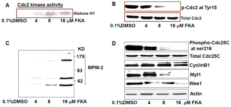 FKA increases MPM-2 phosphorylation and Cdc kinase activity via inhibition of Cdc2 and Cdc25 phosphorylation and downregulation of Myt1 and Wee1 expression. ( A ) Cdc2 associated <t>histone</t> H1 kinase activity was decreased dose-dependently by FKA treatment for 24 h in SKBR3 cells; ( B – D ) SKBR3 cells were treated with indicated concentrations of FKA for 24 h. Phosphorylation levels of Cdc2, MPM-2, and Cdc25C as well as protein levels of cyclin B1, Myt1, and Wee1 were detected by Western blotting analysis. β-actin was detected as a loading control. A representative blot was shown from three independent experiments.