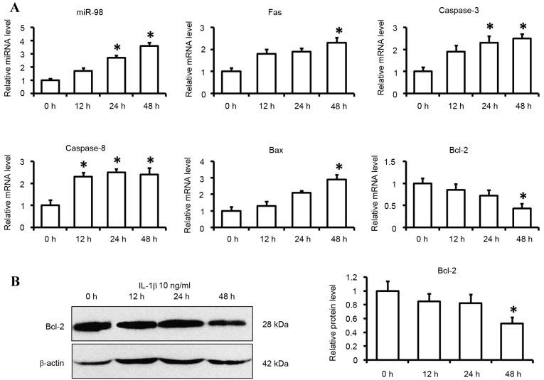 Expression levels of miR-98 and apoptotic factors in IL-1β-induced chondrocytes. Cells were cultured with IL-1β (10 ng/ml) or control medium for 12, 24 and 48 h. (A) miR-98, Fas, caspase-3, caspase-8, Bax and Bcl-2 mRNA expression levels were determined by reverse transcription-quantitative polymerase chain reaction using U6 and GAPDH as internal controls. (B) Bcl-2 protein levels were determined by western blotting. Each data point was normalized to the control. Data are presented as the mean ± standard error from six independent experiments. *P