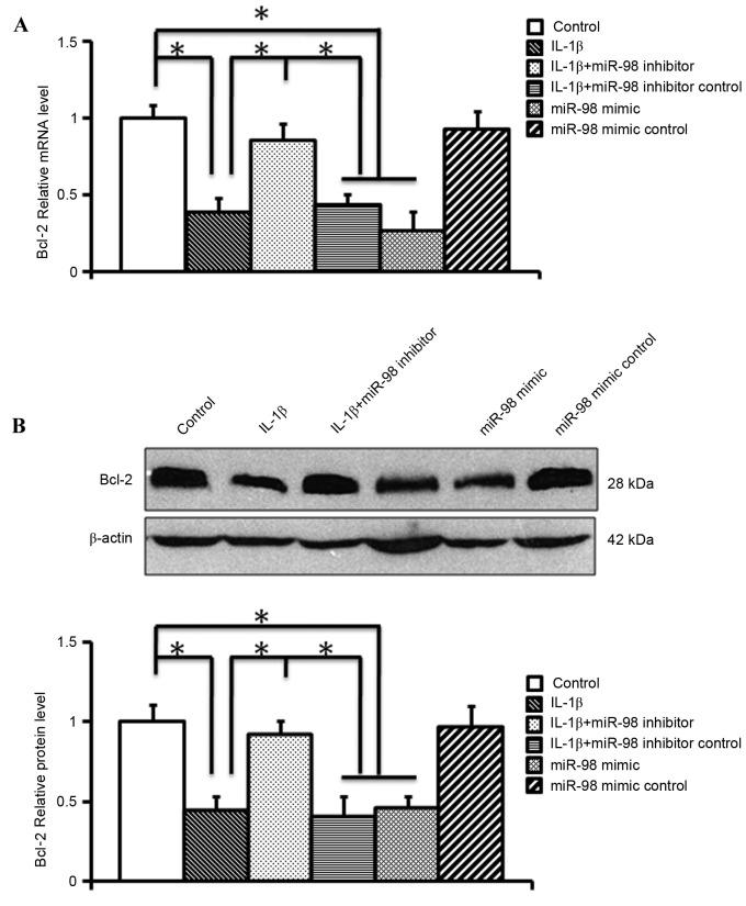 Analysis of the role of miR-98 in the expression of Bcl-2 in IL-1β-treated chondrocytes. (A) Reverse transcription-quantitative polymerase chain reaction analysis of the mRNA expression of Bcl-2. (B) Western blot analysis of the protein levels of Bcl-2. miR-98 inhibitor significantly alleviated IL-1β-induced downregulation of Bcl-2 at the mRNA and protein level (n=6/group). *P