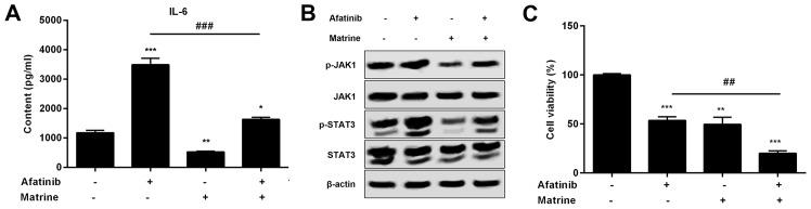 Effects of matrine and afatinib treatment on the growth of H1975 cells in vitro . (A) Protein levels of IL-6 from the supernatant of H1975 cells treated with or without 1 µM afatinib in the presence or absence of 2 mM matrine were detected by ELISA. (B) Protein levels of p-JAK1 and p-STAT3 were detected by western blot prepared from H1975 cells incubated with 1 µM afatinib combined with 2 mM matrine. (C) Effects of of afatinib and matrine treatment on the growth of H1975 cells were measured with the CCK-8 assay and shown by the absorbance at 450 nm. β-actin was included as an mRNA and protein loading control. Data are representative of three independent experiments and expressed as means ± SEM. *P