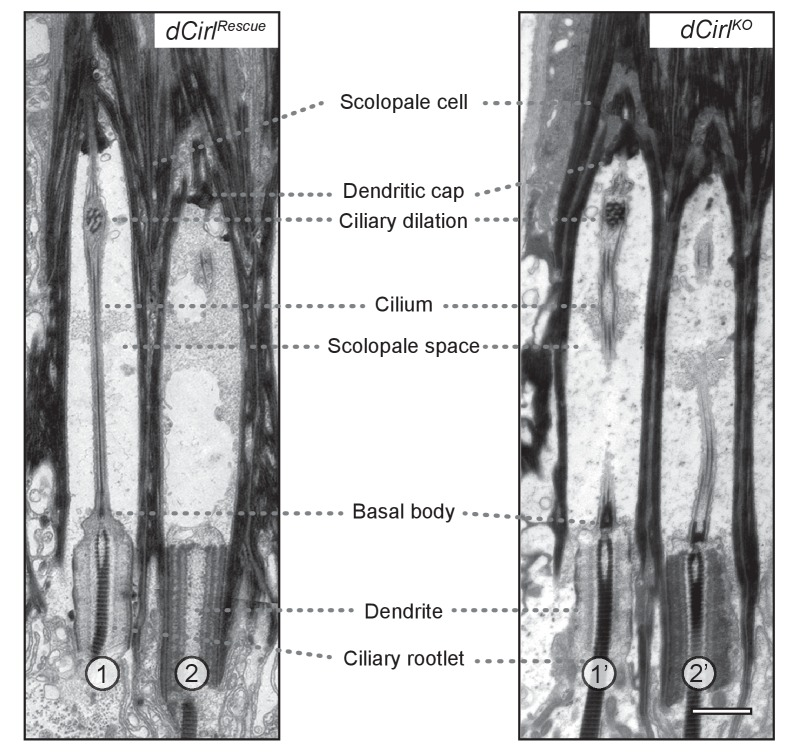 Transmission electron microscopy of ChO in control and dCirl KO . Electron micrographs of longitudinal ultrathin sections at the distal dendritic region of the two outer (1, 2; 1', 2') scolopidia document a complex organization. In scolopidia 1, 1' and 2', the section passes through the central dendritic region including ciliary rootlets, ciliary origin with basal bodies and the entire (1) or part of (1', 2') the cilium; scolopidium 2 is sectioned peripherally. General cellular architecture and ultrastructural features appear preserved in these distal scolopidia after dCirl removal. Scale bar, 1 µm. DOI: http://dx.doi.org/10.7554/eLife.28360.004