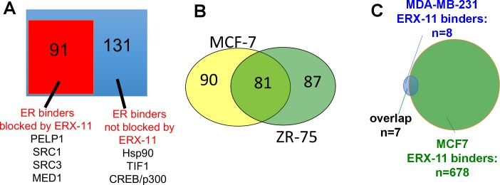 Characterization of ERX-11 interactions with ER. ( A ) Nuclear lysates from E2-stimulated MCF-7 cells treated with vehicle or ERX-11 were subjected to immunoprecipitation with ER antibody. The immunoprecipates were analyzed by mass spectroscopy. The blue box represents the 222 proteins bound to ER in MCF-7 cells, whereas the orange box shows the 91 proteins whose binding to ER is disrupted by ERX-11 ( B ) Venn diagram shows the overlap between proteins binding with <t>biotinylated</t> ERX-11 in MCF-7 and ZR-75 cells. ( C ) Nuclear lysates from MDA-MB-231 cells treated with vehicle or biotin-ERX-11 were subject to immunoprecipitation using avidin beads. The avidin-biotin-ERX-11 precipitates were analyzed by mass spectroscopy. DOI: http://dx.doi.org/10.7554/eLife.26857.009
