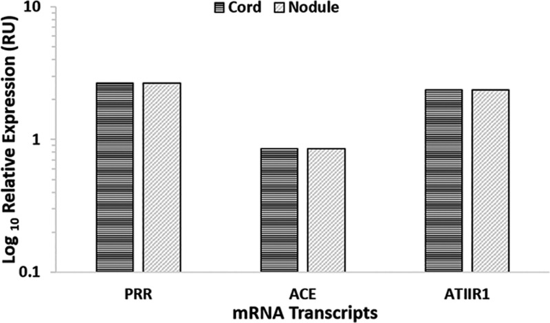 Relative expression of RAS-related mRNA transcripts in DD cords (n = 5) and nodules (n = 5) depicted in RUs as a ratio over the GUSB housekeeper. ATIIR2 was below the detection level. RU, relative unit.