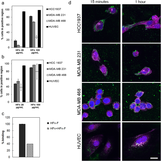 HFn recognition of Triple-Negative Breast Cancer cells. ( a ) MDA-MB 231, MDA-MB 468, HCC1937 (for TNBC) and HUVEC cells were incubated 2 h at 4 °C in PBS buffer and 0.3% BSA with different amounts of FITC-labelled HFn nanoparticles (20 and 100 µg/mL). Then, cells were processed for flow cytometry, using untreated cells to set the positive region and the singlet gate. Reported values are the mean ± s.e. (n = 3). ( b ) MDA-MB 231, MDA-MB 468, HCC1937 (for TNBC) and HUVEC cells seeded in a multiwell plate were incubated 1 h at 37 °C in complete cell culture medium with different amounts of FITC-labeled HFn nanoparticles (20 and 100 µg/mL). Then, cells were detached, washed and processed for flow cytometry, using untreated cells to set the positive region and the singlet gate. Reported values are the mean ± s.e. (n = 3). ( c ) Competition assay. HCC1937 cells were incubated 1 h at 37 °C with 100 µg/mL of FITC-labelled HFn with or without an excess of unlabeled HFn ( i.e ., 5 mg) as competitor. Cells were then detached and treated for flow cytometry. Untreated cells have been used to set the singlet gate and the positive region. Reported values are the mean ± s.e. (n = 3). ( d ) Colocalization of HFn and TfR1. Confocal images of MDA-MB 231, MDA-MB 468, HCC1937 (for TNBC) and HUVEC cells incubated 15 min or 1 h at 37 °C in complete cell culture medium with FITC-labeled HFn nanoparticles (green; 100 µg/mL). Nuclei were stained with DAPI (blue). TfR1 was recognized with anti-TfR1 antibody (Abcam) and labeled with an anti-rabbit secondary antibody conjugated with Alexa Fluor 546 (magenta; Thermo Fischer Scientific). Scale bar: 10 µm.