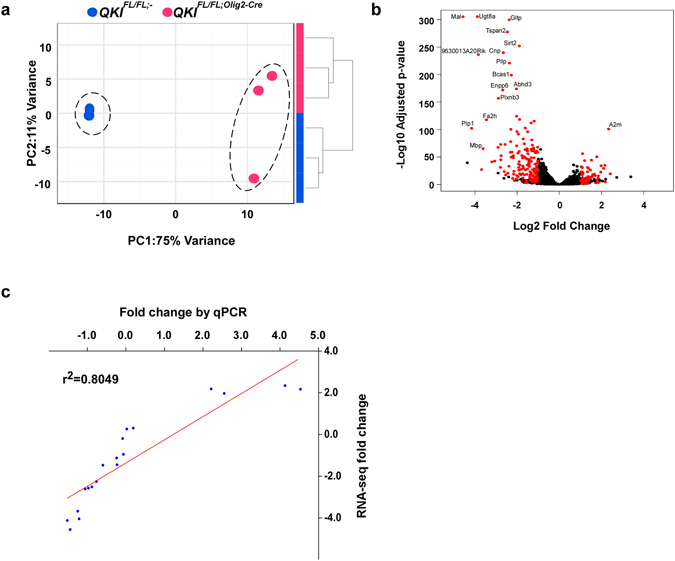 Gene expression profiles comparing brains of QKI FL / FL ; Olig2 - Cre and QKI FL / FL ;- mice. ( a ) Global effects of  QKI FL/FL;Olig2-Cre  on cells were evaluated by unsupervised clustering of samples based on expression profiles of 1,000 most variant genes. QKI FL/FL;Olig2-Cre and QKI FL/FL;- mice form robust, distinct clusters, both with hierarchical clustering (right) and Principal Component Analysis (left). ( b ) Volcano plot representing the results of differential expression analysis. Genes with adjusted p-value