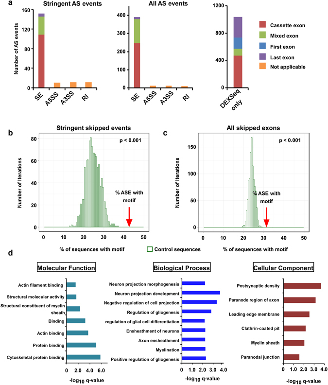 """Brain alternative splicing patterns of mice with QKI-deficient oligodendrocytes. ( a ) Types of alternative splicing events identified in QKI FL / FL ; Olig2 - Cre mice. For skipped exons (SE), the type of exon affected is also indicated. Exons were considered to be """"cassette exons"""" if they were not the first or last exon in any of the gene isoforms or """"mixed exons"""" if they were not the first or last exon in at least one isoform. Abbreviations: SE: skipped exon, A5SS: alternative 5′ splice site, A3SS: alternative 3′ splice site, RI: retained intron. ( b , c ) Motif enrichment analysis. Percentage of sequences with the motif ACUAA in introns neighboring SE events compared to a set of background sequences for the stringent SE candidates called by both methods (b) or for all SE candidates ( c ). The occurrence of the motif was counted in a random set of non-alternatively spliced control sequences of the same size of the set of SE events. This was repeated 1,000 times to get the distribution of the motif occurrence in control sequences. The p-value corresponds to the empirical p-value of the enrichment for the set of SE events compared to the control distribution. (d) Gene Ontology analysis shows enriched molecular function, biological processes and cellular component in the list of genes where the stringent alternative splicing events were found. For Molecular Function, all GO terms with q-value"""