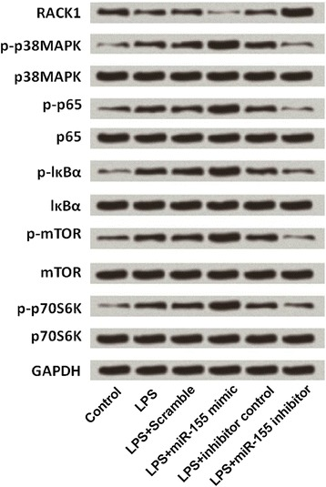 Down-regulation of miR-155 protected BV2 cells from LPS-induced inflammatory injury via deactivation of MAPK/NF-κB and mTOR pathways. Western blot analysis was used to measure the expressions of RACK1, MAPK protein (p38), NF-κB proteins (p65 and lκBα), and mTOR proteins (mTOR and p70S6K) in BV2 cells which were treated with LPS, LPS + scramble, LPS + miR-155 mimic, LPS+ inhibitor control, and LPS + miR-155 inhibitor. GAPDH: glyceraldehyde-3-phosphate dehydrogenase; LPS: lipopolysaccharide; MAPK: mitogen activated protein kinase; NF-κB: nuclear factor kappa B; mTOR: mammalian target of rapamycin