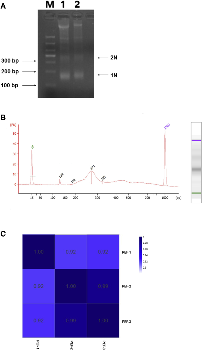 Establishment of MNase-Seq Using 1,000 Cells (A) Isolation of mononucleosomes by MNase digestion of 10 6 PEF. M, 100-bp ladder; 1–2, 10 6 PEF; 1N, isolation of mononucleosomes; 2N, isolation of dinucleosomes. (B) Detection of the adaptor-ligated mononucleosome library derived from 1,000 PEF with the Agilent 2100 Bioanalyzer. (C) Heatmap of the Pearson correlations among PEF-1, PEF-2, and PEF-3.
