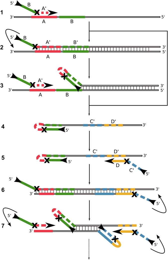 """Mechanism of the symmetric Hinge-initiated primer-dependent replication with two hinge-primer. The first stage (A) starts with initial annealing ( 1 ) of the forward hinge-primer, followed by extension to double strand DNA by Bst DNA polymerase ( 2 ) and refolding to the thermodynamically more stable hairpin structure which liberates ( 3 ) the initial priming site. These steps are repeated following the release of the sense DNA strand ( 4 ). The second stage (B) starts with annealing of the reverse hinge-primer to the newly generated and released single strand ( 5 ) followed by the extension and refolding to a second hairpin structure at both ends ( 6 ). The initial priming sites on the sense and anti-sense strands are thus liberated by refolding ( 7 ). Due to continuous recycling of hinge-primer binding sites, the reaction finally results in DNA product accumulation for specific detection. The """"X"""" in the primer represents a blocking modification for the Bst DNA polymerase. Examples are a dSpacer (abasic furan) or an C12-Spacer (hexaethylenglycol). Optionally, an additional outer primer can be applied to increase the speed of initial single strand template generation."""