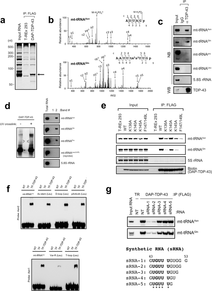 TDP-43 associates with a subset of L-strand-encoded mt-tRNAs. ( a ) RNAs immunoprecipitated (IP) from DAP (double affinity purification tag, see Supplementary Fig. 1a )-TDP-43–expressing cells or T-REx 293 cells were stained with SYBR Gold. ( b ) A typical MS/MS spectrum of the oligonucleotide [ADUAGp] 2− that originated from the RNase T1 digest of mt-tRNA Asn (top) or [AAUUtm 5 s 2 UUGp] 2− from that of mt-tRNA Gln (bottom). m/z, mass-to-charge ratio. ( c ) Endogenous TDP-43 was immunoprecipitated with anti-TDP-43 (αTDP-43) and analysed by western blotting (WB) with anti-TDP-43. The immunoprecipitated RNAs were detected by northern blotting (NB) with the probes indicated on the right. Rabbit IgG served as a negative control. ( d ) DAP-TDP-43 complex was immunoprecipitated from DAP-TDP-43-expressing T-REx 293 cells with (+) or without (−) UV crosslinking, separated by SDS-PAGE, and detected by WB with horseradish peroxidase (HRP)-conjugated streptavidin (left). The SDS-PAGE gel bands containing RNA-bound DAP-TDP-43 corresponding to the area indicated as 1 and 2 were excised, and RNAs were extracted from the bands and analysed by NB with RNA-specific probes (right). ( e ) Each DAP-TDP-43 mutant bearing a mutation(s) at residue(s) K136, K140, K145, or F147/L149 was immunoprecipitated with anti-FLAG and analysed by WB with HRP-conjugated streptavidin or by NB with the probes indicated on the right. 5S rRNA served as a loading control for RNA and was detected using SYBR Gold staining. ( f ) Recombinant trigger factor–fused TDP-43 (TF-TDP-43) was mixed with synthesised mt-tRNA Asn or its mutant [Ac-stem(Leu), D-loop(Leu), pAntiCdn(Leu), Var-R(Leu) or T-loop(Leu)] shown in Supplementary Fig. 1f , and analysed by electrophoretic mobility shift assay. tRNAs were detected by NB with probes indicated on the left. ( g ) Top: RNAs were immunoprecipitated from TDP-43–expressing T-REx 293 cells in the absence (NT) or presence of synthetic RNA (sRNA-1, sRNA-2, sRNA-3, sRNA-4, or s