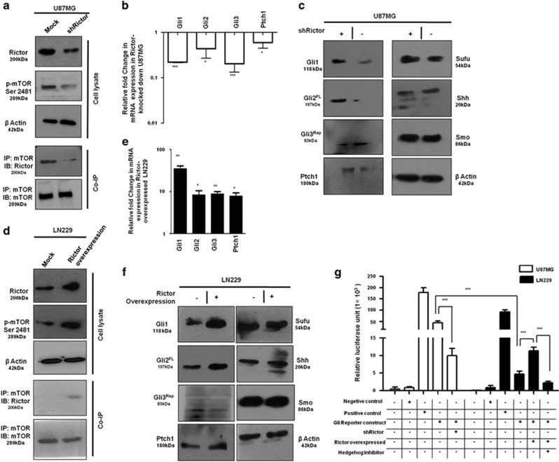 mTORC2 regulates the expression of Gli1 and Gli2. U87MG cells were transfected with shRictor_1 and shRictor_2 shRNA ( a – c ) and LN229 cells were transfected with myc-tag wild-type Rictor (pRK-5/Rictor) for Rictor overexpression ( d – f ). After 36 h, cells were processed for western blotting, coimmunoprecipitation and real-time PCR analysis. RNA isolation kits were from Qiagen. ( a ) Representative immunoblot and coimmunoprecipitation of mTOR and Rictor confirmed reduced mTORC2 formation, as well as lower mTORC2 activity, as shown by decreased phosphorylation of mTOR at Ser2481 in U87MG cells after Rictor knockdown. ( b ) Real-time PCR analysis of Gli1, Gli2, Gli3 and Ptch1 mRNA expression in U87MG cells after mTORC2 disruption by shRictor_1 and shRictor_2 relative to that of untransfected cells. Values are normalized against 18S rRNA expression ( n =3 experiments). ( c ) Representative immunoblot showing reduced Gli1, Gli2 FL and Ptch1 protein levels and increased Gli3 Rep upon Rictor knockdown in U87MG cells. However, there was no apparent change in protein level of Sufu, Smo and Shh. ( d ) Representative immunoblots and coimmunoprecipitation experiments confirmed enhanced mTORC2 formation, as well as increased mTORC2 activity, as shown by higher mTOR Ser2481 phosphorylation in Rictor-overexpressed LN229 cells. ( e ) Real-time PCR analysis of Gli1, Gli2, Gli3 and Ptch1 mRNA expression in LN229 cells after mTORC2 activation relative to that of untransfected cells. Values are normalized against 18S rRNA expression ( n =3 experiments). ( f ) Representative immunoblots showing increased Gli1, Gli2 FL , Ptch1 and decreased Gli3 Rep protein levels upon enhanced mTORC2 activity in LN229 cells, whereas Sufu, Shh and Smo protein levels remain almost equivalent. ( g ) Dual luciferase assay was performed using Gli reporter construct (Qiagen) in U87MG and LN229 cells. According to the manufacturer's protocol, U87MG cells were transfected with negative control, positive cont