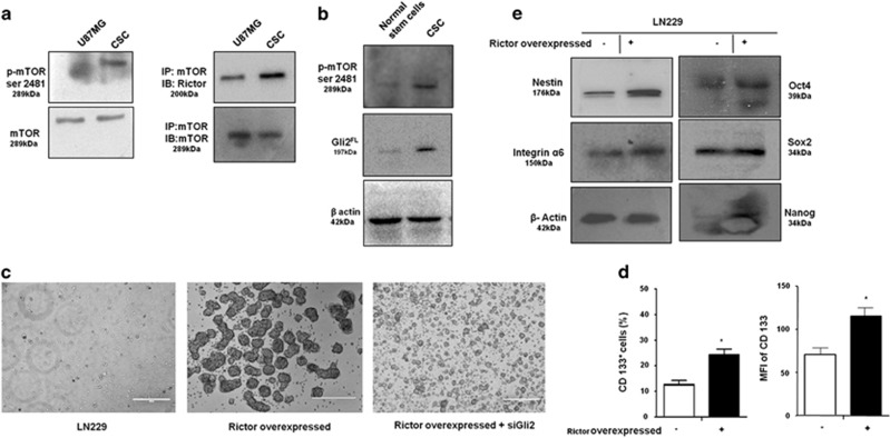 mTORC2 regulates stemness of GBM stem-like cells. ( a ) Representative immunoblot and coimmunoprecipitation demonstrated higher mTORC2 activity and formation as evidenced by increased <t>mTOR</t> <t>Ser2481</t> phosphorylation and association with Rictor in CD133-positive stem-like cells derived from U87MG. APC-conjugated CD133 antibody was from Mylteni Biotech. ( b ) Immunoblot analysis showing enhanced mTOR Ser2481 and Gli2 FL in GBM stem-like cells compared with normal human glial stem cells. ( c ) Rictor was overexpressed in LN229 cells. Simultaneously, Gli2 was knocked down in Rictor-overexpressed LN229 cells and cultured in stem cell medium. Rictor-overexpressed cells showed enhanced neurosphere formation but were unable to form large colonies when Gli2 was knocked down. ( d ) Both the number of CD133-positive cells and their expression were higher in Rictor-overexpressed LN229 cells as revealed by flow cytometric analysis. ( e ) Representative western blots showed increased levels of Oct4, Sox2, Nanog, Integrin α 6 and Nestin in Rictor-overexpressed LN229 cells. Nestin antibody was from Biolegend. Statistical significance compared with the control is indicated by * P