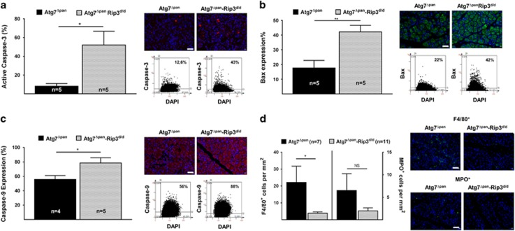 Exacerbated apoptosis and altered inflammation in double-deficient Atg7 Δpan -Rip3 −/− mice. ( a ) Depletion of Rip3 and pancreatic Atg7 (Atg7 Δpan -Rip3 d/d ) increased pancreatic caspase-3 in 12-week-old mice. Caspase-3 quantitation and representative IF microphotographs of Atg7 Δpan ( n =5) and Atg7 Δpan -Rip3 d/d ( n =5) pancreatic tissue stained for DAPI (blue) and Caspase-3 (red) (anti-active caspase-3 ab2302, 1/50, scale bar=50 μ m). ( b ) Depletion of Rip3 and pancreatic Atg7 (Atg7 Δpan -Rip3 d/d ) increased pancreatic Bax in 12-week-old mice. Bax quantitation and representative IF microphotographs of Atg7 Δpan ( n =5) and Atg7 Δpan -Rip3 d/d ( n =5) pancreatic tissue stained for DAPI (blue) and Caspase-3 (red) (anti-Bax (sc-526, 1/50). ( c ) Depletion of Rip3 and pancreatic Atg7 (Atg7 Δpan -Rip3 d/d ) increased pancreatic caspase-9 in 12-week-old mice. Caspase-9 quantitation and representative IF microphotographs of Atg7 Δpan ( n =5) and Atg7 Δpan -Rip3 d/d ( n =5) pancreatic tissue stained for DAPI (blue) and Caspase-9 (red) (anti-caspase-9 NB100-56118, 1/1000). ( d ) Reduced infiltration inflammation of macrophages (F4/80, NBP2-12506, 1/75) and early T-lymphocytes (MPO, ab9535, 1/50) in double-deficient Atg7 Δpan -Rip3 d/d ( n =10) mice compared with pancreatic Atg7 Δpan ( n =7). Data are mean±S.E.M. for the numbers of animals as indicated in the graph, * P