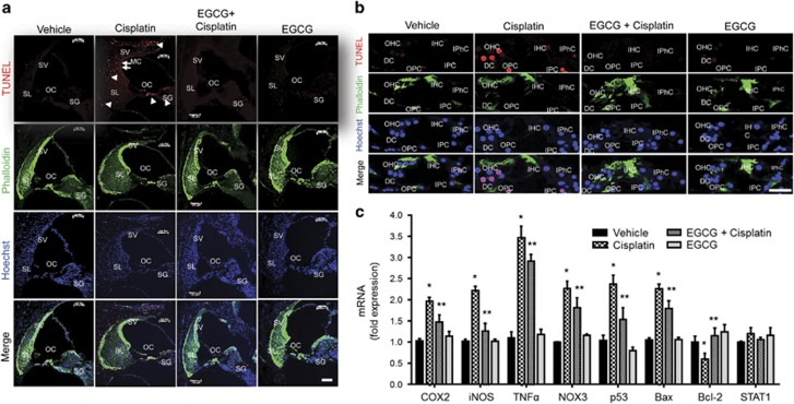 EGCG inhibits cisplatin-mediated apoptosis and inflammatory response in rat cochlea. ( a ) Male Wistar rats were pretreated with oral EGCG (100 mg/kg body weight) for 24 h, followed by cisplatin (11 mg/kg) and daily oral EGCG treatments were continued for an additional 3 days and killed on day 4. Cochleas were collected, fixed, decalcified and processed for mid-modiolar sections. Sections were used for TUNEL staining (red) along with phalloidin immunostaining (green). Cisplatin increased TUNEL-positive nuclei (red) in the OC, SL, SV and SGN, which was blocked by pre-treatment with oral EGCG. Scale bar represents 100 μ m. ( b ) In the OC region, TUNEL-positive nuclei (red) was observed in the OHCs, DCs, IPCs and OPCs of cisplatin-treated cochlea. No distinct TUNEL-positive nuclei were observed in IHCs and IPhCs. Oral EGCG inhibited the TUNEL-positive response induced by cisplatin in the OC. Scale bar represents 25 μ m. ( c ) Cochleae were collected for real-time RT-PCR to determine the levels of COX2 , iNOS , TNF-α , NOX3 , p53 , Bax , Bcl-2 and STAT1 mRNAs. The figures in ( a ) and ( b ) are representatives of cochleas from different groups of four rats each. Data presented in ( c ) represent the mean±S.E.M. of cochleas from four animals. Asterisk (*) indicates statistically significant difference from vehicle, while (**) indicates significant difference from the cisplatin group ( P