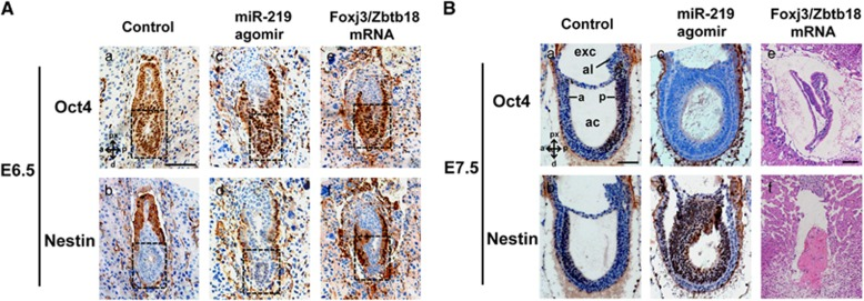 MiR-219 induces neural development in mouse embryos. MiR-219 agomirs, Foxj3/Zbtb18 mRNAs, and their corresponding negative controls were microinjected into the cytoplasm of zygotes as indicated. The expression patterns of Oct4 and Nestin in the serially sectioned E6.5 and E7.5 embryos were examined by immunohistochemistry analysis. ( A ) Immunohistochemistry analysis of the E6.5 embryos. Representative images are shown. Black dashed frames in E6.5 embryos indicate the embryonic region. ( B ) Immunohistochemistry (a–d) and H E staining (e, f) analysis of E7.5 embryos. a and b show the representative control embryo and indicate how the embryonic region is organized and how the ectodermal and endodermal tissues can be distinguished. c and d show the representative abnormal miR-219-injected embryo, which exhibits a severe overdevelopment in its anterior region. (e, f) show representative abnormal Foxj3/Zbtb18 mRNA-injected embryo with disorganized embryonic region, apparent arrested development, or resorption. Full images of serially sectioned embryos are shown in Supplementary Figure S4 . a, anterior; ac, amniotic cavity; al, allantois; d, distal; exc, exocoelomic cavity; p, posterior; px, proximal. Scale bars, 200 μ m