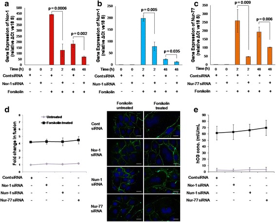 Effect of Nor-1, <t>Nurr-1</t> and Nur-77 silencing on forskolin-mediated BeWo cell fusion and hCG secretion. BeWo cell knockdown for Nor-1, Nurr-1 or Nur-77 were made using siRNA as described in the Methods section. The efficacy of silencing of Nor-1, Nurr-1 or Nur-77 transcripts was confirmed via qRT-PCR using specific primers and was studied after 0, 2 and 48 h of forskolin (25 μM) treatment in control siRNA-transfected and Nor-1-, Nurr-1- or Nur-77-silenced BeWo cells. a , b and c – Comparisons of the transcript levels of Nor-1, Nurr-1 and Nur-77, respectively, in the control siRNA-transfected and silenced cells. Each bar represents relative expression after normalization with 18S rRNA and is expressed as means ± s.e.m. of three independent experiments performed in triplicate. The effect of Nor-1, Nurr-1 or Nur-77 silencing on forskolin-mediated BeWo cell fusion was studied at 48 h using desmoplakin I + II staining and hCG secretion was studied with ELISA. d – The fold change in forskolin-mediated BeWo cell fusion in Nor-1-, Nurr-1- or Nur-77-silenced cells and control siRNA-transfected cells. Values are shown as the means ± s.e.m. of three independent experiments. Representative images of desmoplakin I + II staining (green) are appended alongside. The scale bar represents 20 μm. e – hCG secreted by control and Nor-1-, Nurr-1- or Nur-77-silenced cells in response to forskolin treatment at 48 h and represented as means ± s.e.m. of three independent experiments performed in duplicate. p ≤ 0.05 is considered statistically significant