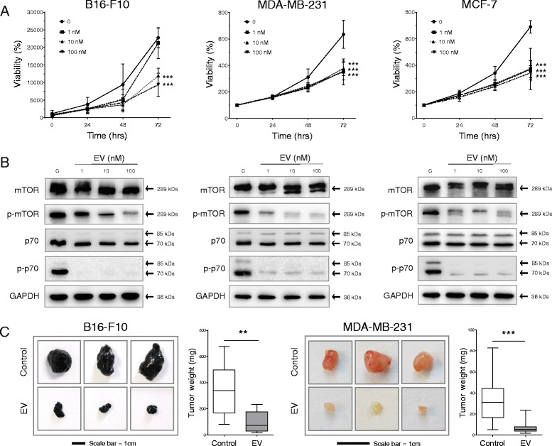 Everolimus (EV) inhibits cancer cell growth in vitro and in vivo. a The murine melanoma cell line B16-F10 and the human breast cancer cell lines MCF-7 and MDA-MB-231 were treated with EV in a dose-dependent (0, 1, 10, and 100 nM) and time-dependent (0, 24, 48, and 72 h) manner. Cell viability was assessed with the CellTiter-Blue® assay. b Western blots used to assess the ability of EV concentrations to inhibit the phosphorylation of the mammalian target of rapamycin (mTOR) protein and p70 S6 kinase after 24 h of treatment in the cell lines investigated. Glyceraldehyde 3-phosphate dehydrogenase ( GAPDH ) is shown as the housekeeping control. c Female immunocompetent (C57BL/6) and immunocompromised (NMRI nude) mice were inoculated subcutaneously with B16-F10 and MDA-MB-231 cells, respectively. Tumor growth was assessed after daily treatment with 1 mg/kg of EV for 2 and 4 weeks in each respective model. In vitro and in vivo data are shown as mean ± SD of at least three independent experiments or ten mice per group, respectively. Cell viability assays were analyzed for each time point using two-way analysis of variance and in vivo data by Student's t test. Significance between EV treatments and the control condition was apparent only at 72 h and is indicated by asterisks on the graphs. In the B16-F10 graph, EV treatment was significant at inhibiting viability only at 72 h at concentrations of 10 and 100 nM. In the MDA-MB-231 and MCF-7 graphs, all concentrations of EV were significant to the same degree. ** p