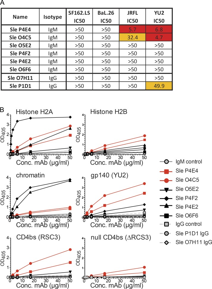 Histone H2A-reactive IgM monoclonal antibodies, isolated from B6.Sle123 mice, neutralize tier 2 strains of HIV-1. Hybridomas were generated from splenocytes isolated from B6.Sle123 mice that displayed serum tier 2 HIV-1 neutralization ( n = 2). (A) Purified monoclonal IgM and IgG antibodies ( n = 8) were tested for HIV-1 neutralization against 4 strains of HIV-1 and reported as IC 50 (the concentration of antibody required for 50% neutralization). (B) Specificities of the monoclonal antibodies were tested using ELISA against the histone H2A, histone H2B, and chromatin nuclear antigens in addition to HIV-1 gp140 (YU2) Env and the CD4bs (RSC3) epitope, as well as a CD4bs-negative control (ΔRSC3). The two neutralizing IgM mAbs (P4E4 and O4C5) are shown with red symbols, and lines and non-neutralizing mAbs shown with solid black symbols and lines for IgM and gray symbols and dashed lines for IgG. IgM and IgG control antibodies were used to determine the background of the assay and for which ODs above this line were considered positive. Data are representative from three independent experiments.