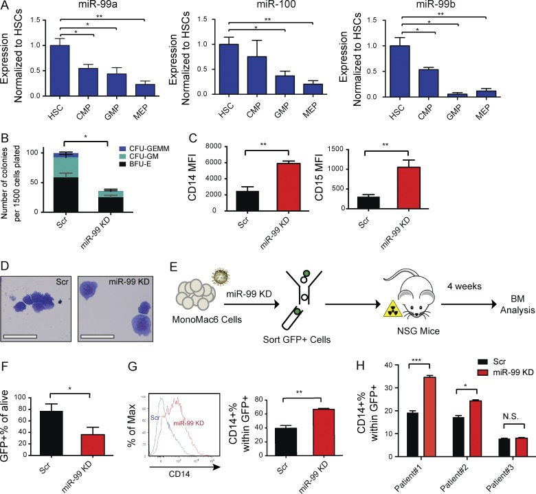 miR-99 functionally suppresses human AML differentiation. (A) Normalized expression levels of miR-99a, miR-99b and miR-100 by quantitative PCR using miRNA TaqMan probes in human HSPCs, including hematopoietic stem cells (HSCs), multipotent progenitors (MPPs), common myeloid progenitors (CMPs), granulocyte-macrophage progenitors (GMPs), and megakaryocyte-erythroid progenitors (MEPs). Expression was normalized to sno-R2 . Data represent mean ± SEM and are representative of five independent experiments. (B) The colony-forming capacity of CD34 + human cord blood cells is reduced after miR-99 KD. CD34 + cells were transduced with lentiviral anti– miR-99 or scramble control. GFP + cells were isolated and cultured in complete methylcellulose, and the colonies were scored after 14 d. Data represent mean ± SEM (Student's t test; n = 3) and are representative of two independent experiments. (C) Flow cytometric evaluation of myeloid differentiation marker expression on MonoMac6 AML cells 5 d after transduction with anti– miR-99 or scramble control. Data represent mean ± SEM (Student's t test; n = 3) and are representative of three independent experiments. (D) Wright–Giemsa stains of cytospin preparations of MonoMac6 cells 8 d post-transduction with lentiviral anti– miR-99 or Scr reveals induction of differentiation upon miR-99 KD (bars, 25 µm). (E) Overview of the xenotransplantation experiment performed on MonoMac6 AMLs. Cells were transduced with anti– miR-99 or Scr. After 48 h, GFP + cells were flow sorted, and 800,000 cells were transplanted into sublethally irradiated NSGs. BM was analyzed 4 wk after the transplant. (F) miR-99 KD reduces the of GFP + engraftment of MonoMac6 cells in the BM of recipients 4 wk post-transplantation. Data represent mean percentage ± SEM (Student's t test; n = 4) and are representative of two independent experiments. (G) Representative histogram and aggregated data from flow cytometric evaluation of CD14 expression on GFP + xenografted cells i