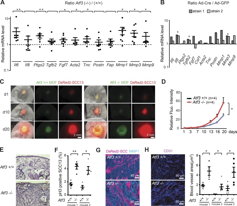 <t>Atf3</t> deletion in mouse dermal fibroblasts enhances tumorigenic behavior of keratinocyte-derived SCC. (A) RT-qPCR analysis of the indicated genes in multiple parallel cultures of primary dermal fibroblasts derived from either individual or pooled newborn Atf3 −/− ( n = 8) and Atf3 +/+ ( n = 5) mice. Values are expressed as log10 ratios in Atf3 −/− versus Atf3 +/+ cultures. Data are mean ± SEM, one-tailed one-sample t test, *, P