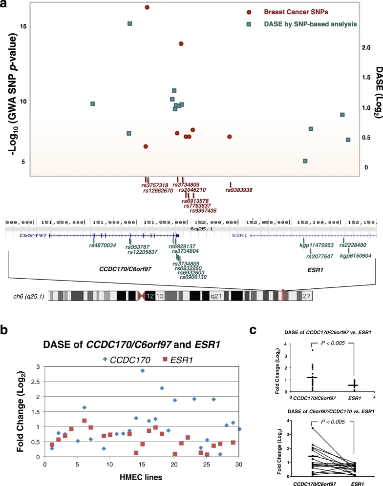 The CCDC170/C6orf97 locus is associated with significant Differential Allele Specific Expression (DASE) and Genome Wide Association (GWA) signals. a. SNPs at the CCDC170/C6orf97-ESR1 locus that are associated with breast cancer and DASE. Upper plot shows regional GWA and DASE plots of the chromosome 6q25.1 loci CCDC170/C6orf97 and ESR1 . Results of Log 10 ( P -value) are shown for SNPs associated with breast cancer (red dots) for the region of 151.8–152.2 Mb. P -values plotted for SNPs reported by multiple studies are shown as average P -values. Results of DASE (green squares) at Log 2 (fold-mRNA expression differences from one allele to the other) are calculated and averaged for primary HMEC lines ( n = 30) by SNP-based analysis ( Gao et al., 2012 ). Gene locations and SNPs used for DASE analyses (lower map) are from the UCSC Genome Browser assembly. b. Results of DASE analysis of CCDC170 (in blue) or ESR1 (in red) at Log2 (fold-changes) are calculated by gene-based analysis in individual primary HMEC lines ( n = 30). DASE could not be calculated for all samples because the heterozygous DASE-detection SNPs were not available for some samples. c. DASE comparison between CCDC170 and ESR1 genes (upper panel: t -test; lower panel: Matched Pairs test).