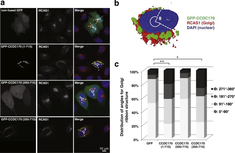 CCDC170 overexpression promotes spreading or fragmentation of the Golgi ribbon structure. a. To examine whether overexpression of GFP-CCDC170 promoted reorganization of the Golgi, HeLa cells were transfected with non-fused GFP as a negative control, GFP-CCDC170, or clinical relevant truncation constructs (355–715 and 593–715). Quantitative results showed that CCDC170 overexpression can trigger spreading of the cis-Golgi ribbon structure as measured by both the fraction of CCDC170 positive cells showing perinuclear Golgi spreading (RCAS1 marker), as well as the angle of spreading of the cis-Golgi in individual cells (Ɵ). The diffusely expressed 593–715 fragment had no effect on Golgi spreading, while the 355–715 fragment showed an effect similar to the full length protein. b. 3D-rendering showing that CCDC170 overexpression triggers a dramatic spreading or fragmentation of the Golgi ribbon structure. c. Distribution of cells with different ranges of Golgi ribbon angle (Ɵ: 0°–360°), in cells expressing non-fused GFP, GFP-CCDC170, GFP-593-715 and GFP-355-715 [cell number ( n ) = 100 for each construct; vs. non-fused GFP (180°–360°); * P