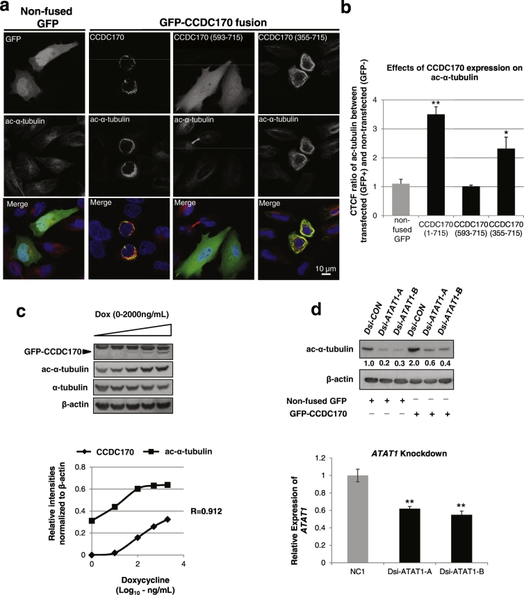 CCDC170 enhances alpha-tubulin acetylation. a. HeLa cells were transiently transfected with GFP-CCDC170 full length, the clinically relevant N-terminally truncated forms (GFP-593-715, GFP-355-715) or a non-fused GFP negative control, and were subjected to immunofluorescence for acetylated alpha-tubulin (ac-α-tubulin) (red). b. Corrected Total Cell Fluorescence (CTCF) counts from panel a. Data represent CTCF ratio of red signal (ac-α-tubulin) between GFP-positive and GFP-negative cells (ratio of red signal in GFP Positive: GFP Negative) as compared to the negative control of non-fused GFP ( n = 100, * P