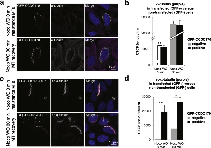 CCDC170 enhances MT stabilization. a and b. HeLa cells were transfected with GFP-CCDC170, and after 20 h were treated with nocodazole for 4 h to depolymerize MTs and observe potential CCDC170-induced resistance to nocodazole-induced MT depolymerization. Cells were then fixed and stained with anti-GFP and anti-α-tubulin (purple) antibodies 0 min after Nocodazole treatment (Noco WO 0 min) or 30 min after nocodazole washout to observe MT re-polymerization (Noco WO 30 min). As shown in panel d, after 4 h of nocodazole treatment, cells expressing GFP-CCDC170 (GFP-positive) showed nocodazole-resistant perinuclear MTs, as compared to neighboring nontransfected cells (GFP-negative). The GFP-CCDC170-induced nocodazole-resistance of MTs was quantitated by Corrected Total Cell Fluorescence (CTCF) counts (Panel b). Data represents absolute CTCF signal in GFP-positive versus GFP-negative cells ( n = 100; * P