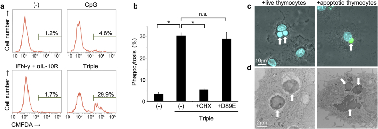 Induction of live cell phagocytosis in cell cultures. (a) BMDMs were stimulated or not (−) with CpG DNA (0.5 μg/ml), IFN-γ (100 U/ml) and αIL-10R (1.25 μg/ml), or with CpG, IFN-γ, and αIL-10R (Triple) for 20 h, and were then co-cultured with CellTracker green dye (CMFDA)-labeled freshly-isolated live thymocytes for 2.5 h. Percentage of macrophages that contained CMFDA-positive live thymocytes were then analyzed using flow cytometry. (b) BMDMs were stimulated or not using cotreatment with CpG, IFN-γ, and αIL-10R (Triple) before co-culturing with CMFDA-labeled live thymocytes, and percentages of macrophages that performed phagocytosis were then analyzed using flow cytometry. BMDMs were also treated with or without (−) cycloheximide (CHX, 1 μg/ml) throughout the cotreatment period, or the D89E mutant of MFG-E8 (7 μg/ml) 30 min before incubation with thymocytes; * p