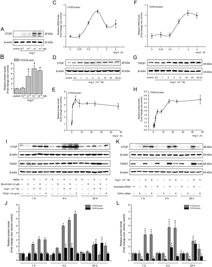 Ang II induces a rapid upregulation of CTGF expression independently of TGF- β in LX-2 cells. ( A ) Serum-starved LX-2 cells were stimulated with Ang II (10 −8 –10 −6 M) for 4 h. Whole cell lysates were immunoblotted with CTGF antibody and a representative immunoblot band of CTGF from 3 independent experiments is shown. β -Actin was used as an internal control for equal protein loading. ( B ) Results of total CTGF expression were obtained from densitometric analysis and expressed as ratio CTGF/ β -actin, as n -fold increase over that in unstimulated control cells. ( C,F ) Serum-starved LX-2 cells were exposed to Ang II (10 −7 M) for 0, 0.25, 0.5, 1, 2 and 4 h. The mRNA expression of the TGF-β1 and CTGF gene was measured by the <t>qRT-PCR</t> method as described in the Materials and Methods section. ( D,G ) Serum-starved LX-2 cells were exposed to Ang II (10 −7 M) for 0, 0.5, 1, 2, 4, 8, 16, 24 and 48 h. Whole cell lysates were prepared and immunoblotted with anti-CTGF or anti-TGF- β 1 antibodies, respectively. Anti- β -actin antibody was used to demonstrate equal protein loading. Similar results were observed in 3 independent experiments, and representative immunoblot bands of CTGF and TGF- β 1 are shown. ( E,H ) Quantitative determination of CTGF and TGF- β 1 protein levels at various time points as indicated, which were converted to arbitrary densitometric units, normalized by the value of β -actin and finally expressed as n -fold change over that of unstimulated control cells (defined as 1.0). ( I,J ) TGF- β signaling was blocked by pretreatment for 1 h with SB-431542 (a TGF- β receptor kinase inhibitor; 10 −5 M), ( K,L ) or by transfection with TGF- β 1 siRNA, before incubation with or without Ang II (10 −7 M) for 1, 4 and 24 h. The CTGF and TGF- β 1 protein levels were analyzed by Western blotting. As a positive control of CTGF production, TGF- β 1 (10 ng/mL) was used. Data are presented as mean ± SD of 3 independent experiments. # P