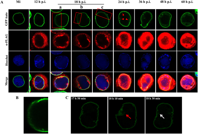Subcellular localization of GFP-lamin B in Sf9-L cells. ( A ) Immunofluorescence microscopy analysis. Sf9-L cells were mock-infected or infected with vAc76:FLAG at an MOI of 5. At the designated time points p.i., the cells were fixed, permeabilized, stained with a mouse monoclonal anti-FLAG antibody, and visualized with donkey anti-mouse IgG conjugated to Alexa Fluor 555 (red) as the secondary antibody to detect Ac76. GFP-lamin B was detected based on GFP autofluorescence (GFP-Auto, green). Hoechst 33342 was used to identify nuclei and DNA-rich regions (blue). The red rectangles indicate the diffuse localization of a portion of the nuclear rim GFP-lamin B, and the red triangles show the distribution of GFP-lamin B at the periphery of the nucleus. ( B ) Higher magnification image of the boxed region in ( Aa ). ( C ) Live confocal microscopy images of a virus-infected Sf9-L cell between 17 h 50 min and 18 h 30 min p.i. A portion of the nuclear rim GFP-lamin B showed diffuse localization (red arrow) and then recovered (white arrow).