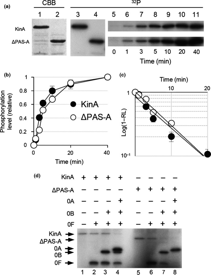 In vitro autophosphorylation assay for PAS ‐A domain deletion form of KinA (KinA Δ PAS ‐A ). (a) Autophosphorylation activities of KinA and KinA Δ PAS ‐A (Δ PAS ‐A) were measured in an in vitro reaction. Each of the purified proteins was analyzed by SDS ‐ PAGE (lanes 1 and 2, 0.1 μg protein stained with Coomassie brilliant blue, CBB in panel a) and with in vitro autophosphorylation in the presence of [γ‐ 32 P] ATP followed by autoradiography of SDS ‐ PAGE (lanes 3 and 4, 32 P in panel a). For kinetic analysis, at the indicated times, aliquots were removed from the in vitro autophosphorylation reaction mixture, mixed with SDS ‐ PAGE sample buffer to stop the reaction, and analyzed by SDS ‐ PAGE followed by autoradiography (lanes 5–11). (b) Relative phosphorylation levels over time of reaction. The fractions of phosphorylation levels plotted on the y‐axis in the graph were defined as the ratio of each of the radiolabeled proteins at the indicated time point to the maximum level of that present at the end point of the reaction and are expressed as the relative level ( RL ). (c) Graph indicates the semilogarithmic plot of the value of (1‐ RL ) as a function of time. The estimated values of k obs (pseudo‐first‐order rate constant) for the autophosphorylation of KinA and KinA Δ PAS ‐A were calculated from the slopes. The symbols are the same as in (b). (d) Spo0A phosphorylation by KinA and KinA Δ PAS ‐A through phosphorelay. The purified proteins as indicated on the top were incubated with [γ‐ 32 P] ATP as described in Materials and Methods. (+) and (−) indicate with and without proteins, respectively. Whole reaction mixtures were analyzed by SDS ‐ PAGE followed by autoradiography. Each of the gel images displayed is one of the representative results (a and d). The mean from three independent experiments with standard error is shown (b and c)