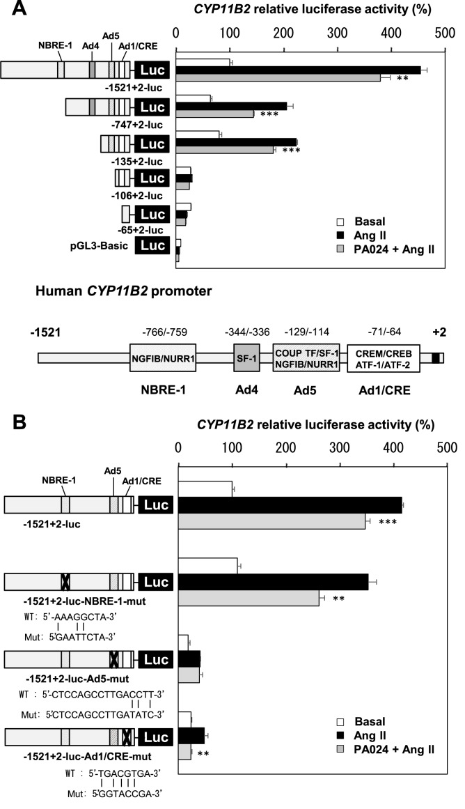 Effects of PA024 on the CYP11B2 promoter deletion mutants and point mutants. (A), effect of PA024 on the CYP11B2 promoter deletion mutants. Either -1521/+2-luc, -747/+2-luc, -135/+2-luc, -106/+2-luc, -65/+2-luc, or pGL3-Basic (control plasmid) was transiently transfected for 48 h with pCMV-β-gal into H295R cells, and the cells were thereafter treated with PA024 (10 μmol/L, 24 h) and Ang II (100 nmol/L, 6 h). Data represent mean ± S.E.M. (n = 4), percent of -1521/+2-luc control. (B), effect of PA024 on the CYP11B2 promoter point mutants. Either -1521/+2-luc, -1521/+2-luc-NBRE-1-mut, -1521/+2-luc-Ad5-mut, or -1521/+2-luc-Ad1/CRE-mut was transiently transfected for 48 h with pCMV-β-gal into H295R cells, and the cells were thereafter treated with PA024 (10 μmol/L, 24 h) and Ang II (100 nmol/L, 6 h). Data represent mean ± S.E.M. (n = 4), percent of -1521/+2-luc control. *** P