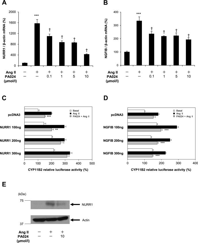 Possible involvement of NURR1 in the PA024-mediated suppression of CYP11B2 promoter activity via binding to the Ad5 element. (A) and (B), dose-response analyses of the NURR1 and NGFIB mRNA expression. H295R cells were treated with PA024 (indicated concentrations, 24h) and Ang II (100 nmol/L, 6 h). Data represent mean ± S.E.M. (n = 4), percent of control. *** P
