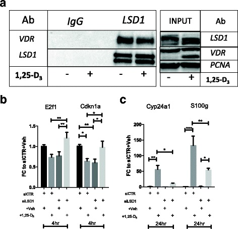a Immunoprecipitation (IP) and western blotting (WB) data showing that LSD1 and VDR belong to the same transcriptional complex. IP was performed from nuclear lysate in samples treated with vehicle control or 1,25-D 3 using the same LSD1 antibody described for IHC and WB. In post-IP, the samples were probed for LSD1 and VDR. The same double band visible in Fig. 1 was also detected in this sample. b , c Effect of LSD1 knockdown and 1,25-D 3 treatment on gene expression of VDR target genes. Every graph compares the effect of vitamin D in control (CTR) cells and LSD1 knockdown (siLSD1) cells. Each bar is the mean of at least three biological replicates with SEM, showing the fold changes of treated (+ D3) vs. vehicle-treated (− Veh) samples. The columns indicate, from left to right , siCTR + Veh, siCTR + 1,25-D 3 , siLSD1 + Veh, and siLSD1 + 1,25-D 3 . Transcript levels were measured for b E2f1 and Cdkn1a and c Cyp24a1 and S100g. Statistical significance was evaluated with one-way ANOVA and Tukey post hoc correction (*** p
