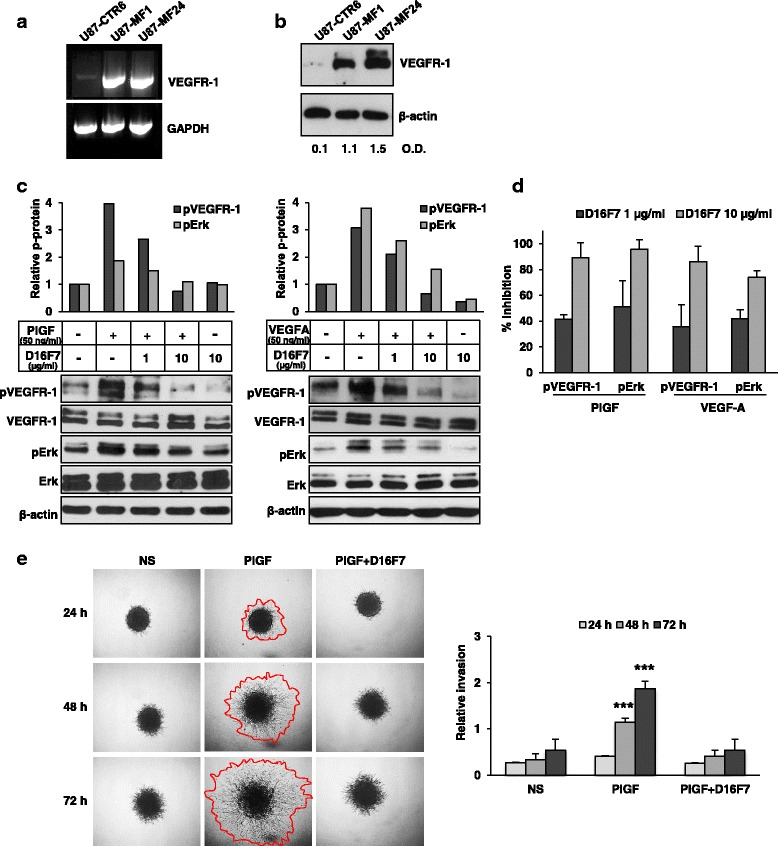 Inhibition by D16F7 of VEGF-A and PlGF-induced phosphorylation of VEGFR-1 at Tyr 1213 in GBM cells over-expressing VEGFR-1. a VEGFR-1 mRNA levels in U87-derived clones transfected with control (U87-CTR6) or VEGFR-1 expressing (U87-MF1 and U87-MF24) vectors was analyzed by RT-PCR. Amplified products were separated on 1% agarose gels and results are representative of one out of two different experiments giving comparable results. b VEGFR-1 protein levels in U87-derived clones transfected with control or VEGFR-1 expressing vectors were analyzed by Western blotting. Numbers below immunoblot lanes indicate VEGFR-1/β-actin optical density (O.D.) ratios. c Western blotting of total or phosphorylated VEGFR-1 (pVEGFR-1) at tyrosine 1213 and total or phosphorylated Erk1/2 (pErk) in untreated or D16F7 (1 or 10 μg/ml) pre-treated U87-MF24 cells in response to PlGF or VEGF-A. Histograms represent the densitometric quantification of band intensities in the corresponding immunoblots, expressed as pVEGFR-1/VEGFR-1 ratio relative to untreated control, after normalization for β-actin expression. Normalized pVEGFR-1/VEGFR-1 or pErk/Erk protein ratio in untreated cells was considered equal to 1. d Histogram represents the mean ± SD percentage inhibition values of PlGF or VEGF-A-induced VEGFR-1 phosphorylation or Erk1/2 phosphorylation in U87-MF24 cells after treatment with 1 and 10 μg/ml D16F7, calculated from immunoblot densitometric analysis of three independent experiments. e For spheroid invasion assay U87-MF24 cells were embedded in matrigel in the absence or presence of D16F7 (10 μg/ml) and PlGF (50 ng/ml). Representative pictures of spheroids taken at 24, 48 and 72 h after embedding cells in matrigel (40× magnification) are shown; NS, non-stimulated cells. Relative invasion was quantified as described in Fig. 1d legend. Data are expressed as mean ± SD ( n = 6–10) and results of statistical analysis were as follows: PlGF vs NS, PlGF vs D16F7 or PlGF vs PlGF + D16F7, p