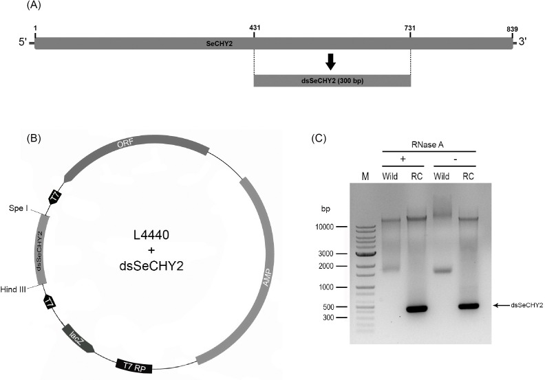 Construction of recombinant E . coli expressing dsRNA specific to SeCHY2 (dsSeCHY2). (A) Location of dsSeCHY2 in cDNA of SeCHY2. (B) Directional cloning of dsSeCHY2 into L4440 vector using two restriction sites of Hind III and Spe I. The cloning site was located between two opposite T7 promoters. Recombinant vector was screened after transformation into E . coli in the presence of ampicillin antibiotics. LacZ promoter (ʻlacZ') was then induced by IPTG to express T7 RNA polymerase (ʻT7 RP') which recognized two T7 promoters and transcribed dsSeCHY2 in both directions. (C) Resulting dsSeCHY2 and its resistance to <t>RNase</t> A treatment. ʻWild' and ʻRC' represent non-recombinant and recombinant HT115 bacteria, respectively. ʻM' represents DNA marker.